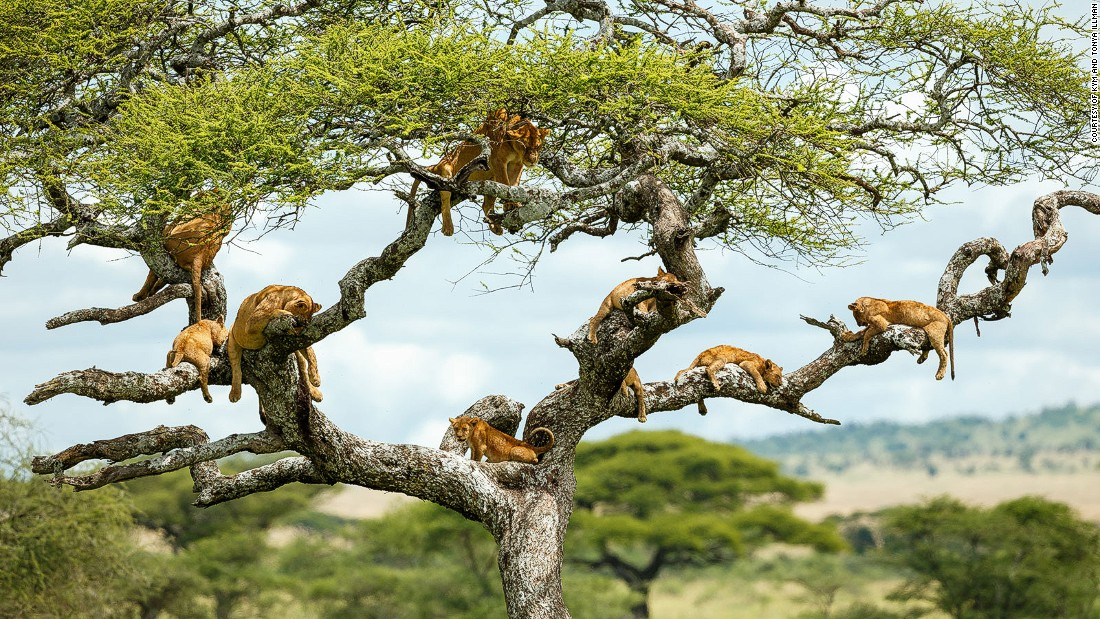 "These nine lions in a tree were snapped by Australian husband-and-wife team Kym and Tonya Illman. Using pioneering photography techniques they've managed to get rare, closeup views of African wildlife. Their new book ""Africa on Safari"" tells the stories behind the shoots."