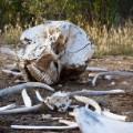 elephant poaching dead