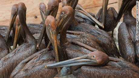 Pelicans covered in oil after the BP Gulf of Mexico spill