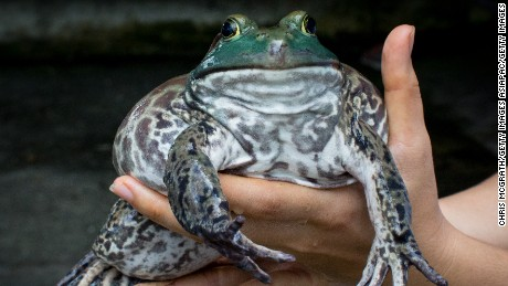They grow them big here. A large female North American Bullfrog at the Jurong Frog Farm.