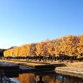 Tokyo fall leaves Showa Kinen