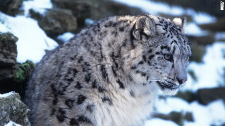 Why snow leopards are in trouble