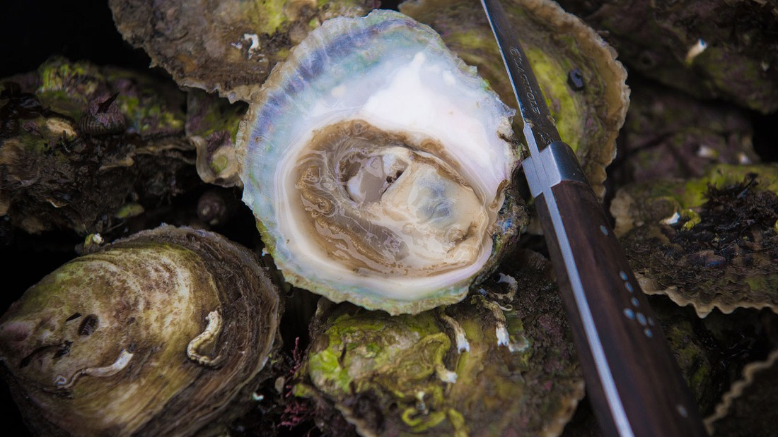 Limfjorden, a shallow sound in the northern part of Denmark's Jutland peninsula, is home to the largest remaining wild population of prized European flat oysters.