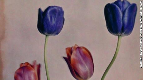"""Bloementeelt, tulpen """"La miroir pandoza"""" (naam varieteit). Voorbeeld van vroege kleurenfotografie volgens het autochroom-proc餩.[Nederland, omstreeks 1927]. Fotograaf Leendert Blok paste dit eerste praktische kleurenproc餩 toe om bloemen te fotograferen voor Nederlandse kwekers in de Bollenstreek. Met behulp van oranje, violet en groen gekleurde zeer fijne aardappelzetmeelkorrels welke als een filter werken en die op een zwart-wit positief op glas zijn aangebracht, ontstaat een beeld dat als een kleurendia bekeken kan worden. Let op: de reguliere levertermijn geldt niet bij dit beeld. Voor zowel particulier als professioneel gebruik van deze foto gelieve direct contact op te nemen met Spaarnestad Photo via verkoop@spaarnestadphoto.nl."""