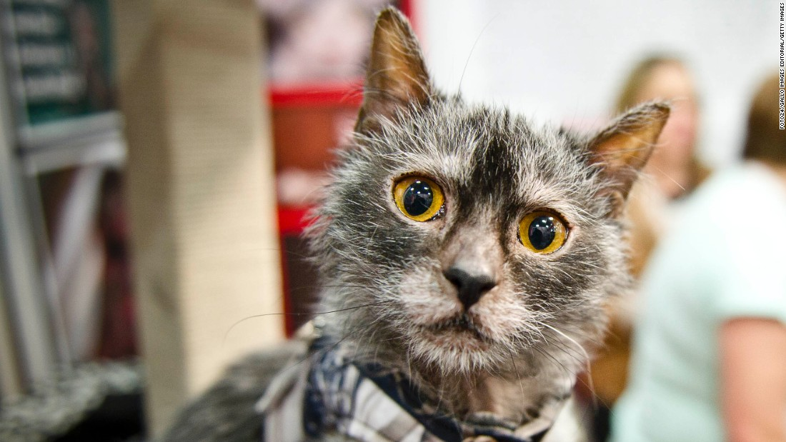 Lykoi Cat For Sale In South Africa