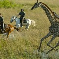 Macatoo - Giraffe canter 5