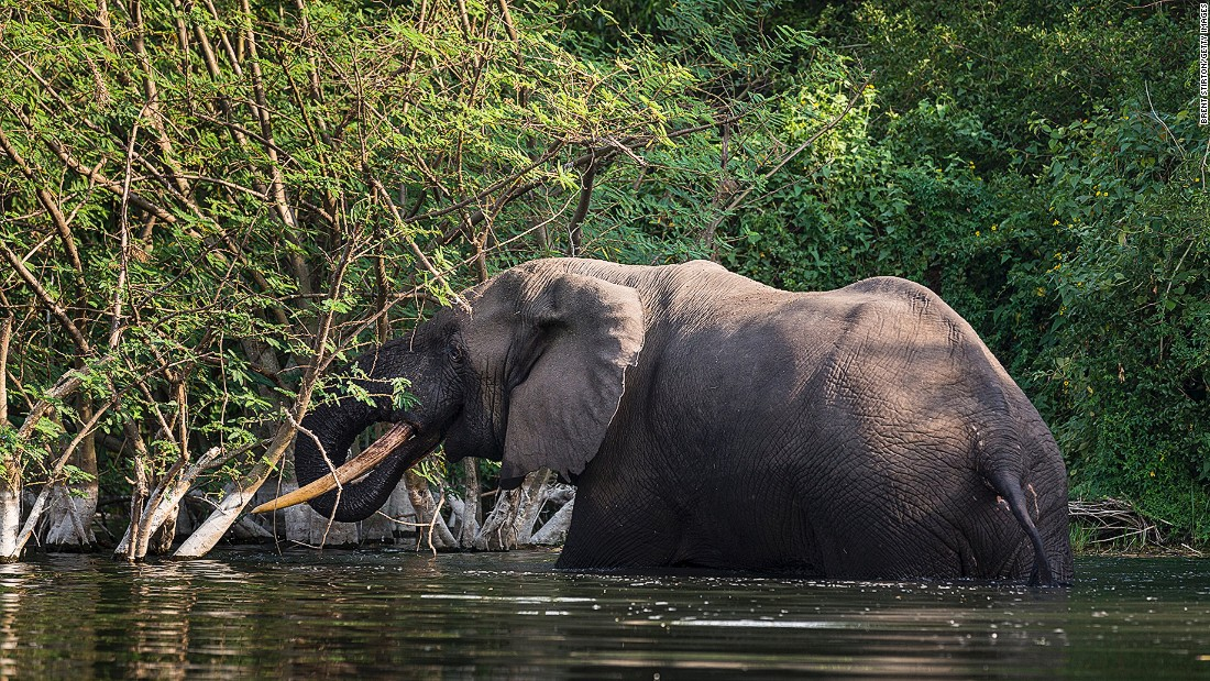 A bull elephant bathes and drinks water on the northern shores of Lake Edward in the Virunga National Park in the Democratic Republic of Congo.