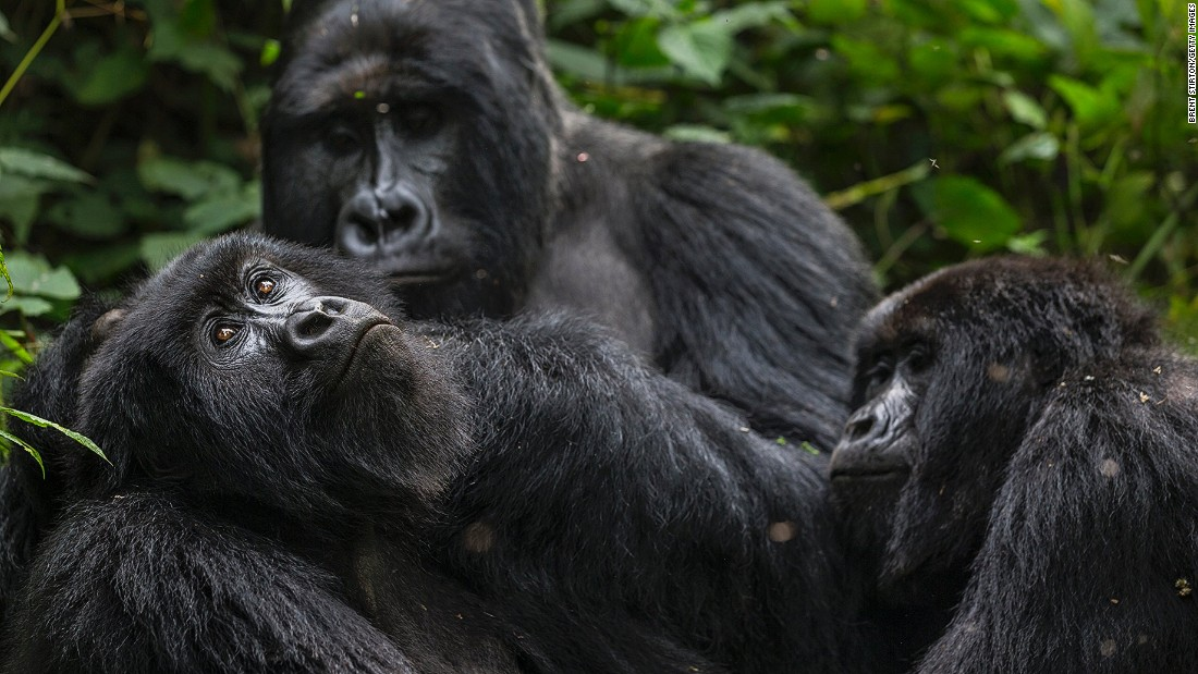 The Bageni family lives in the gorilla sector of Virunga National Park.