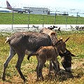 Goats and llama chicago ohare airport