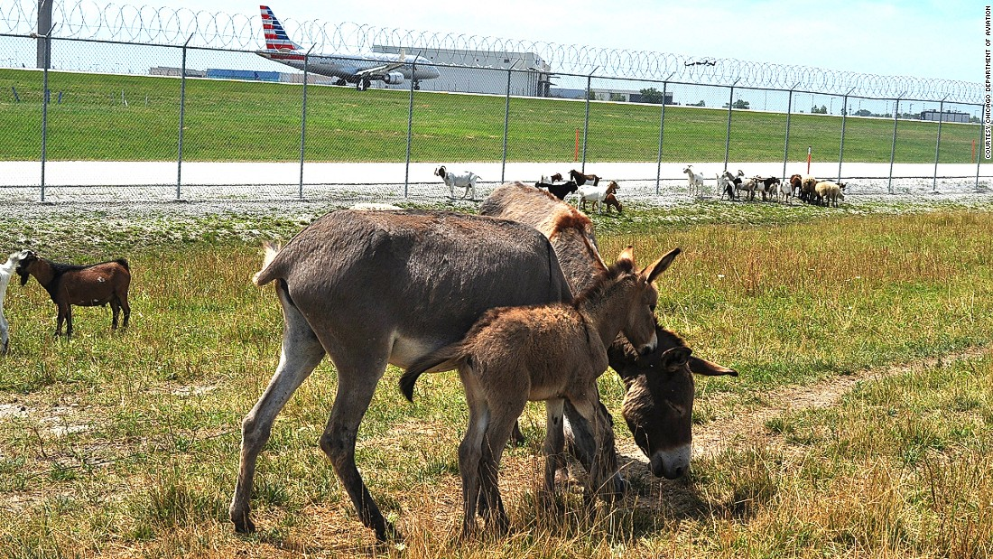 The grazing herd at O'Hare International is comprised of more than 40 goats, sheep, llamas, burros and alpacas from Settlers Pond, an animal rescue facility in Beecher, Illinois. This is the third straight year the herd assisted in managing vegetation in a sustainable manner at the world's busiest airfield.