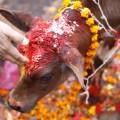 RESTRICTED Nepal festival 1112