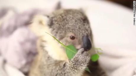 baby.koala.imogen_00000000