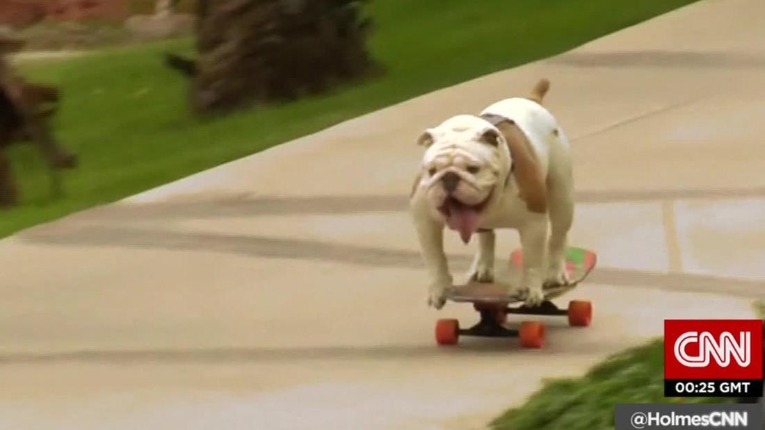 Famed skateboarding bulldog, Tillman, has passed away | GrindTV.com