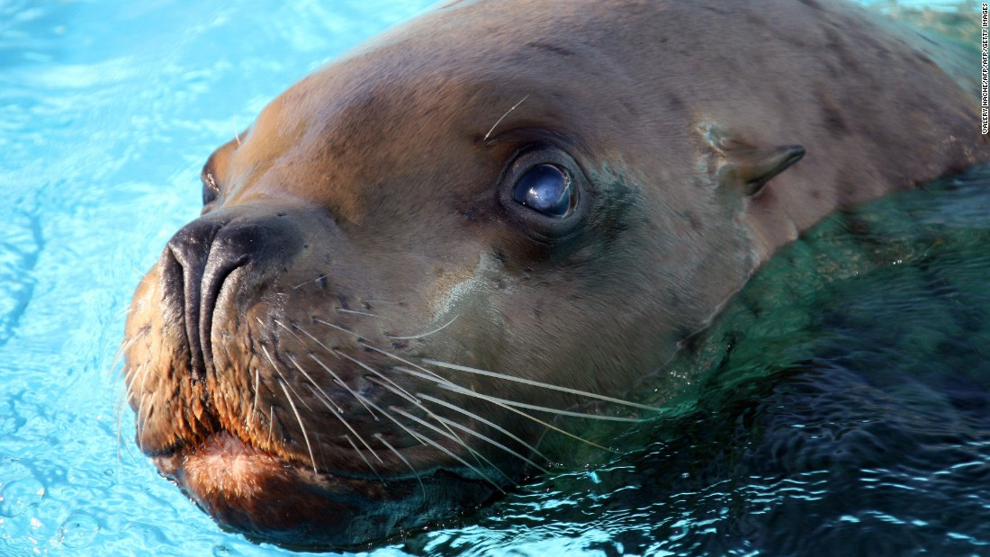 The <strong>Steller sea lion</strong>, native to Alaska, was removed from the list in 2013 after 23 years of federal protection.