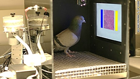 Pigeons, the next great cancer detector?