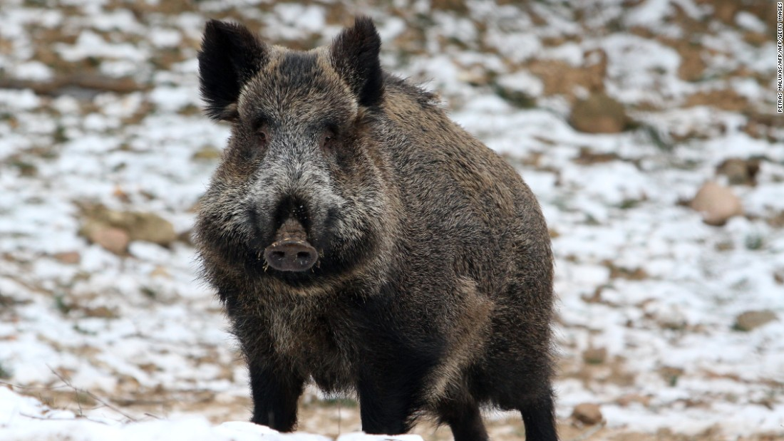 Feral pigs are believed to cause over $50 million worth of damage each year in the U.S.  But people in the southern states know they taste pretty good on the barbecue.