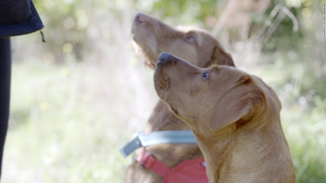 Fifteen-month-old Florin is young, but she's already showing promise detecting cancer. She's a fox red Labrador, just like her aunt, Daisy. She was bred with the hope that Daisy's cancer-sniffing DNA would run in the family. Behind her, Midas, a white-haired Hungarian vizsla, was initially trained to detect bed bugs. Now, she sniffs out cancer. Midas is a diva. She sits on Guest's chair when she isn't there, and bosses other dogs around.