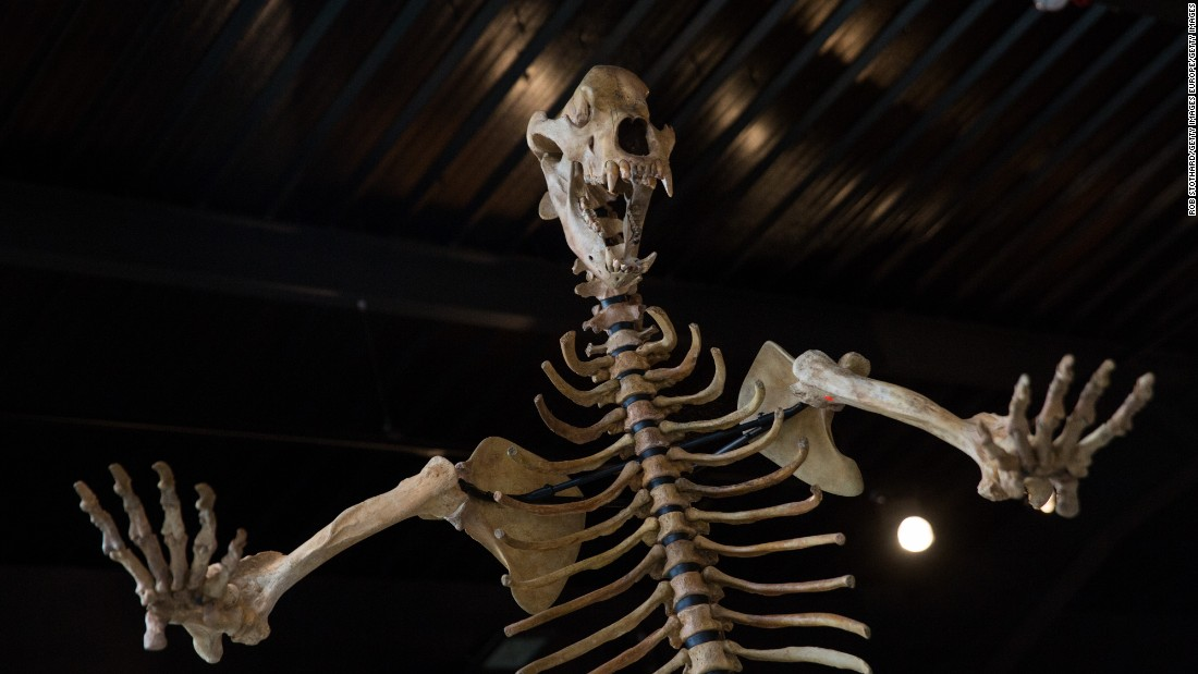 An Ice Age cave bear from the Carpathian mountains in Romania and around eight feet high.