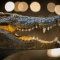 crocodile auction