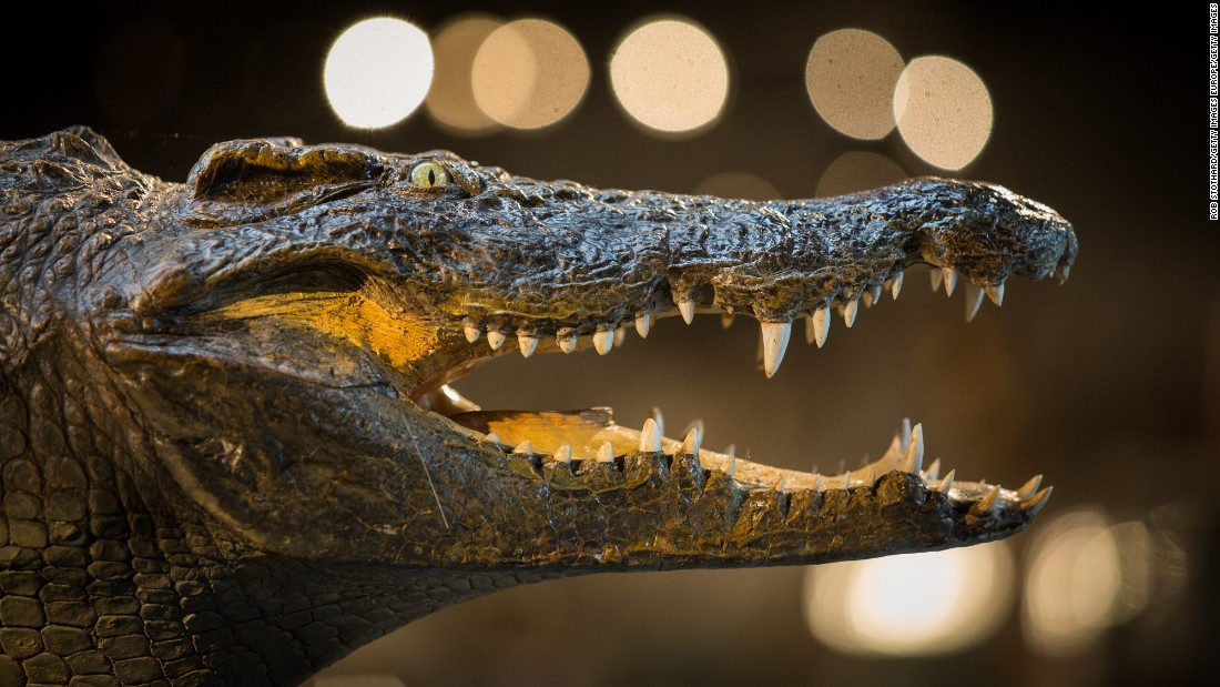 The head of a full crocodile also goes under the hammer.
