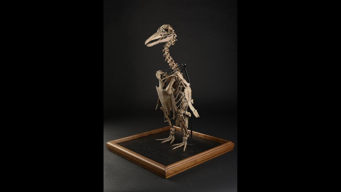 A rare penguin fossil weas found in South America and believed to date from the Miocene, around 20 million years ago.