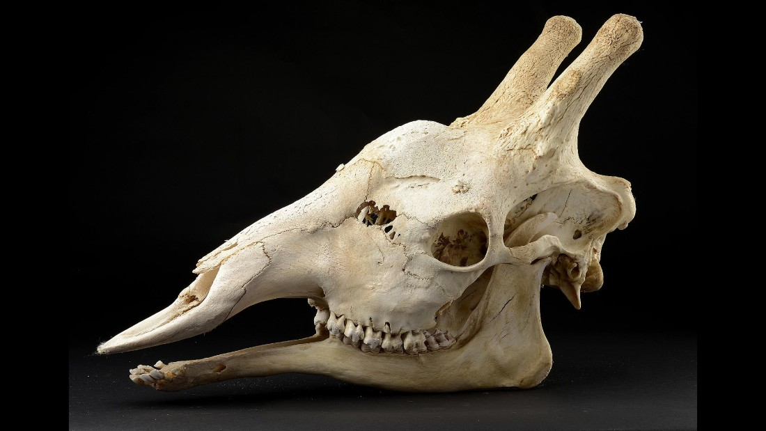 A large giraffe skull dating from the early 20th century.