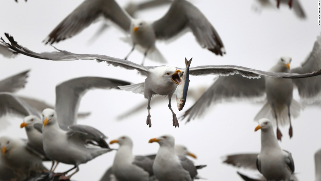 <strong>July 8:</strong> A gull flips a herring in order to swallow it whole in Rockland, Maine. The gull had just taken the fish from a delivery truck.