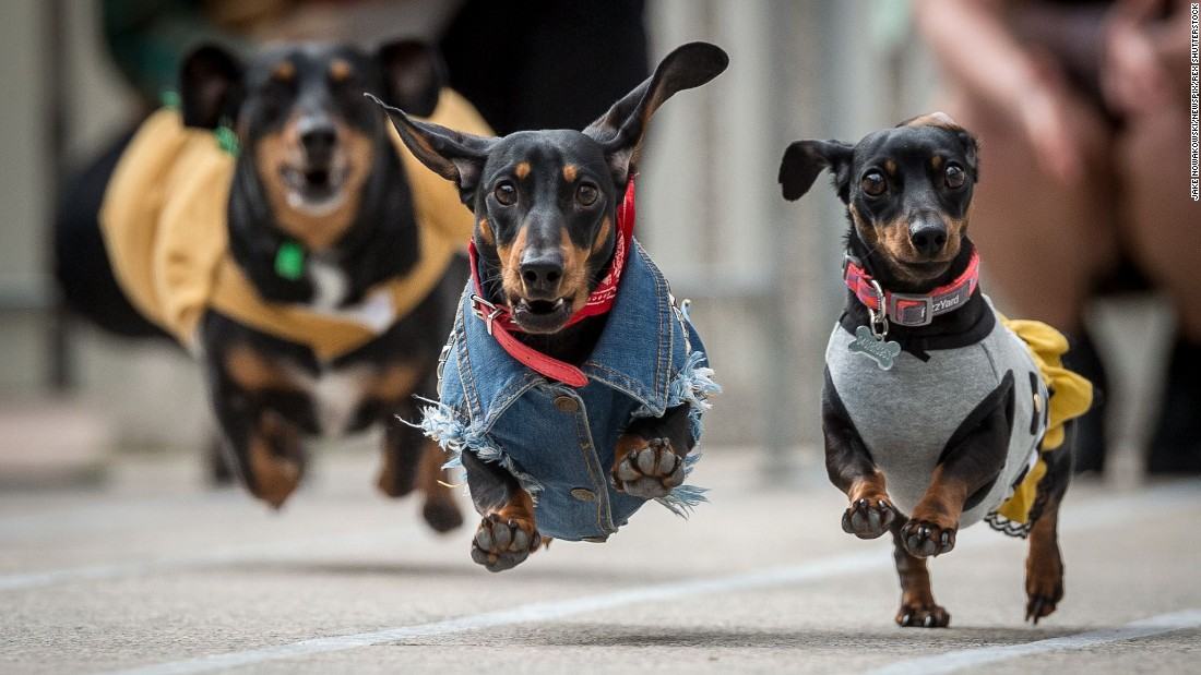 <strong>August 26:</strong> Dachshunds race at an Oktoberfest celebration in Melbourne.