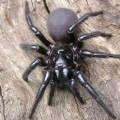 05 dangerous spiders Sydney funnel spider
