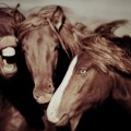 Icelandic horses 5