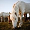 Icelandic horses 6