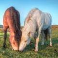 Icelandic horses 9