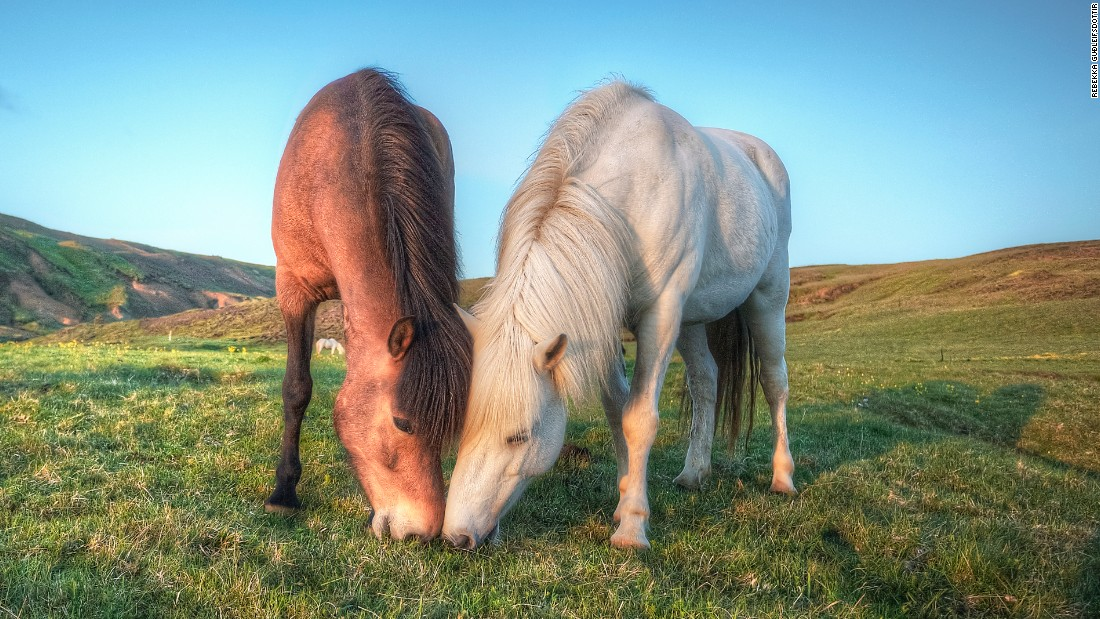 """FEIF's vision is to bring people together in their passion for the Icelandic horse -- not to bring the horses together, but to bring people and their passions together,"" Mazeland adds. ""The Icelandic horse helps to represent a vision, culture and lifestyle."""