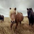 Icelandic horses 10