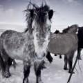 Icelandic horses 12