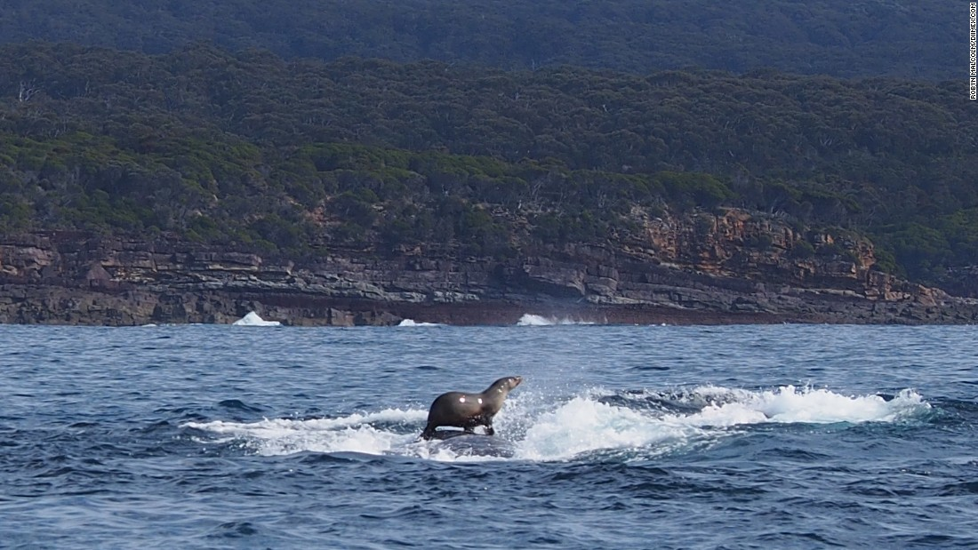 <strong>August 23:</strong> A seal rides on a humpback whale off the coast of Eden, Australia.