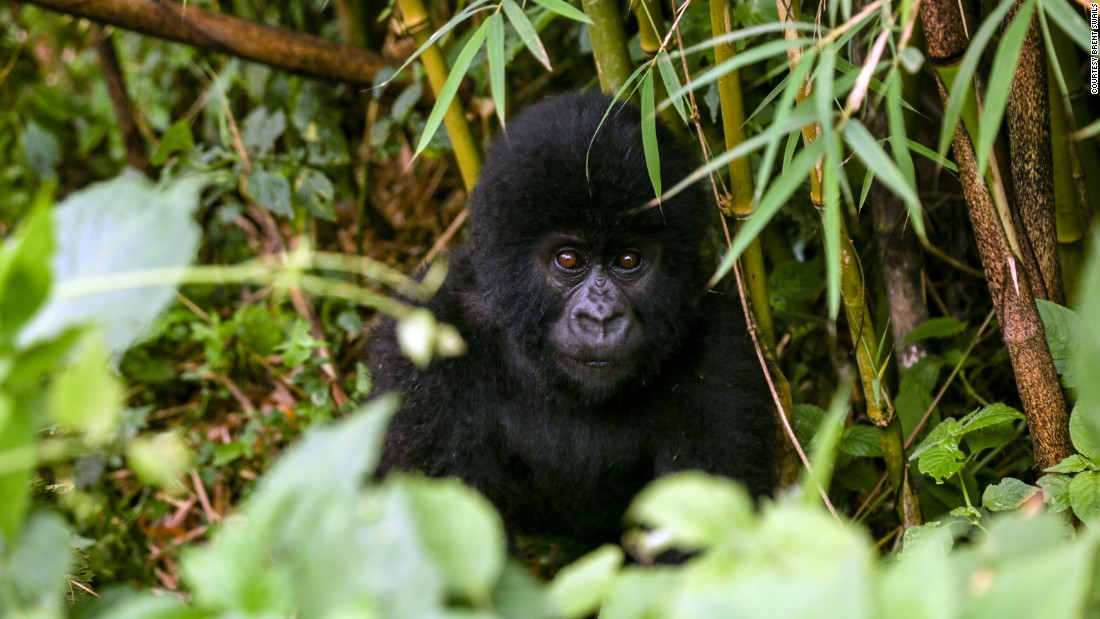 Virunga National Park's gorillas are the park's most prized residents and its most convincing argument for tourists to venture to the Democratic Republic of the Congo, across the border from Rwanda. But park officials admit tourism alone will never be enough to save Virunga.