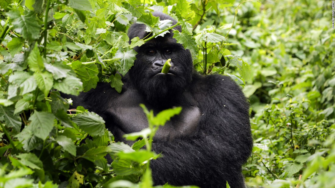 "Bukima, a silverback, adopted his current troop after poachers killed four gorillas including the dominate male. ""They killed these gorillas just to discourage the rangers,"" says Virunga's Southern Sector Head Innocent Mburanumwe. ""So that we would leave the forest and then people could benefit from the rich soil."""