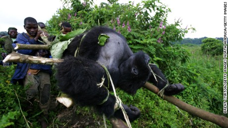 Rangers from an anti-poaching unit help evacuate the bodies of four Mountain Gorillas killed in Virunga in 2007.