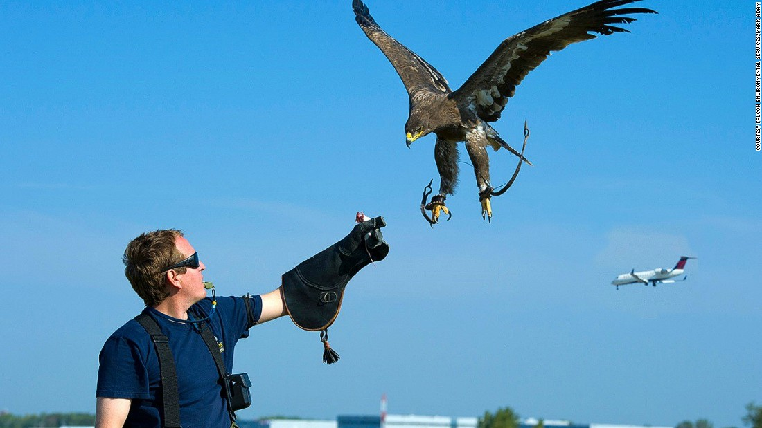 In the United States alone, there are nearly 14,000 bird strikes each year. Falcon Environmental Services is one company that uses falcons to direct birds away from planes during the critical moments of takeoff and landing.