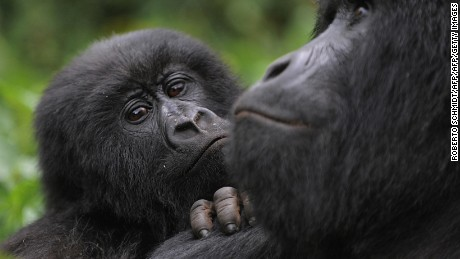 A juvenile gorilla leans on the shoulder of an adult male in the Virunga National Park.