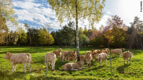 Blonde Aquitaine cows on the Polmard farm.