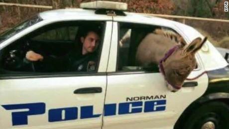 oklahoma donkey police car ride pkg_00005306