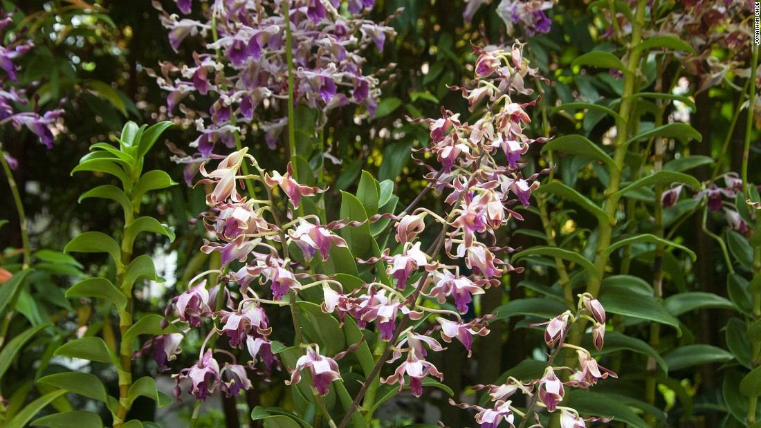 "This orchid is named ""Dendrobium Margaret Thatcher"" after the late UK prime minister, who was nicknamed the Iron Lady."