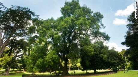 The evergreen Tembusu tree can grow to 40 meters in height.