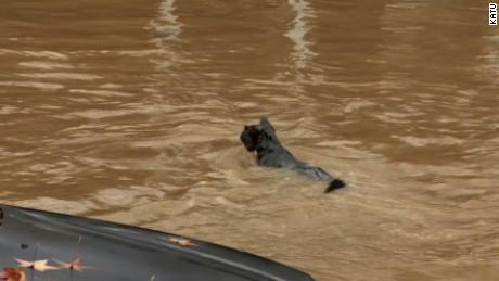 cat swimming in flood water, raccoon under traffic barricade
