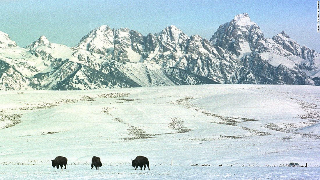 Buffalo walk the range of the National Elk Refuge near Grand Teton National Park in Wyoming.