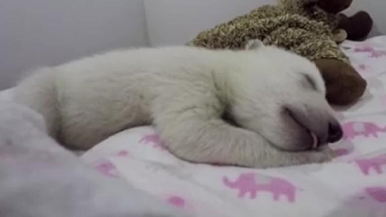 U S Mountain Lion Population Sleeping polar bear cu...