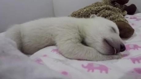 polar bear cub dreaming orig vstan jnd pkg_00001923