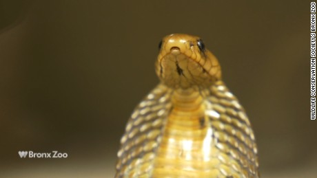 The Indian cobra is native to southern Asia - including Pakistan, Bhutan, Nepal and Sri Lanka.
